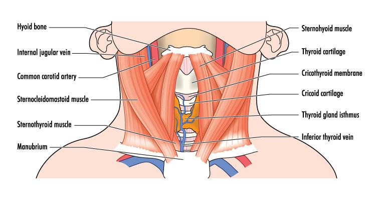 muscles du cou